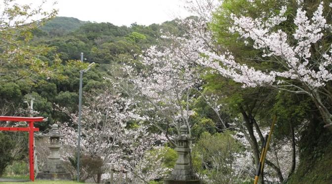 御座爪切不動尊の桜も満開です!!