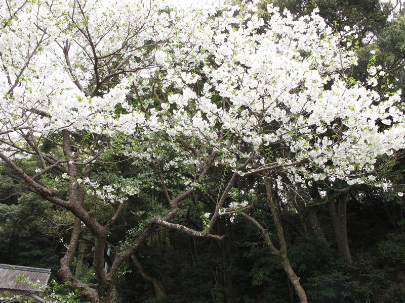 fudouson-sakura_20160403_01