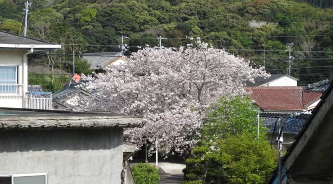 漁師民宿松栄荘の周辺の桜も満開です。