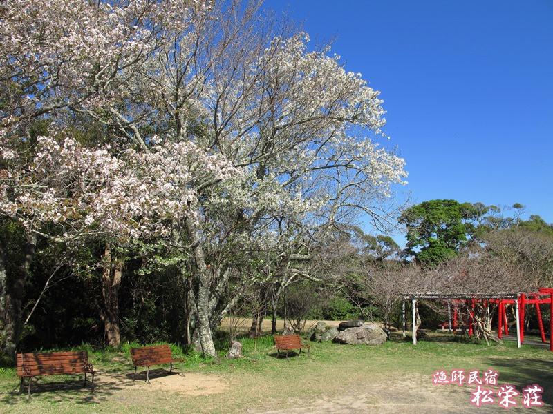 御座爪切不動尊の桜広場