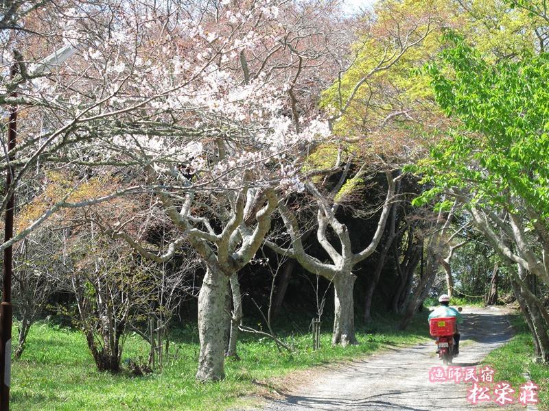 御座爪切不動尊表参道の桜