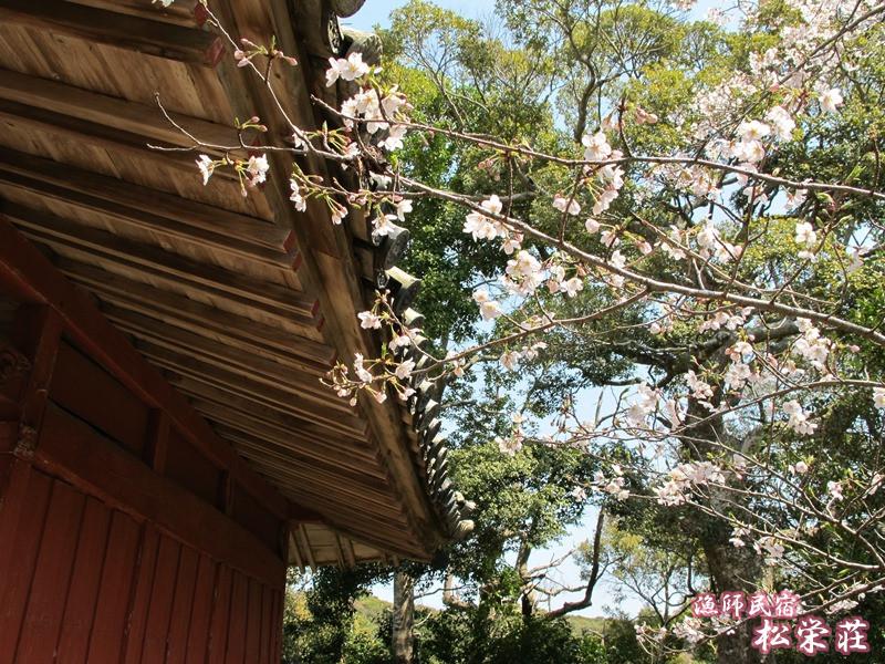 御座爪切不動尊稲荷神社横の桜