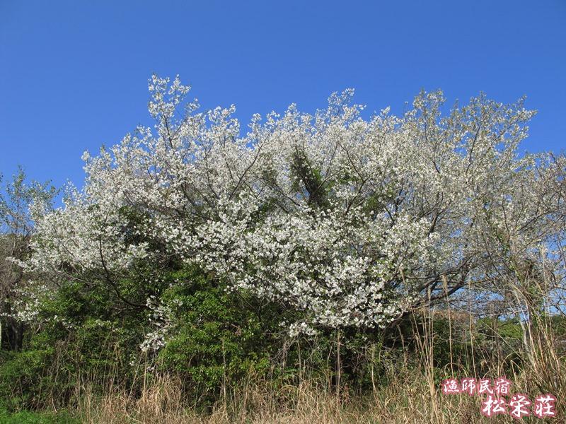 金比羅山ハイキングコースの大桜