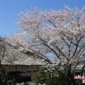 潮音寺の桜