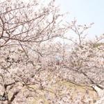 御座の桜も、見頃を迎えております!!